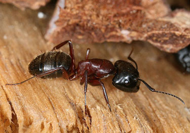 ants control & identification for southeast michigan area