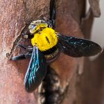 Pest Control Picture of Carpenter Bee - Xylocopa - Pest Masters - 500Picture of Carpenter Bee - Xylocopa - Pest Masters - 500Picture of Carpenter Bee - Xylocopa - Pest Masters - 500Picture of Carpenter Bee - Xylocopa - Pest Masters - 500Picture of Carpenter Bee - Xylocopa - Pest Masters - 500Picture of Carpenter Bee - Xylocopa - Pest Masters - 500Picture of Carpenter Bee - Xylocopa - Pest Masters - 500Picture of Carpenter Bee - Xylocopa - Pest Masters - 500Picture of Carpenter Bee - Xylocopa - Pest Masters - 500Picture of Carpenter Bee - Xylocopa - Pest Masters - 500Picture of Carpenter Bee - Xylocopa - Pest Masters - 500Picture of Carpenter Bee - Xylocopa - Pest Masters - 500Picture of Carpenter Bee - Xylocopa - Pest Masters - 500Picture of Carpenter Bee - Xylocopa - Pest Masters - 500Picture of Carpenter Bee - Xylocopa - Pest Masters - 500Picture of Carpenter Bee - Xylocopa - Pest Masters - 500Picture of Carpenter Bee - Xylocopa - Pest Masters - 500Picture of Carpenter Bee - Xylocopa - Pest Masters - 500Picture of Carpenter Bee - Xylocopa - Pest Masters - 500Picture of Carpenter Bee - Xylocopa - Pest Masters - 500