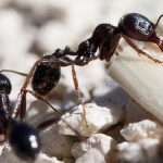 Pest Control Picture of Little Black Ants - Monomorium minimum - Pest Masters -500