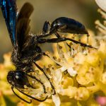 Pest Control Picture of Mud Dauber Wasp - Sphecidae or Crabronidae - Pest Masters - 500