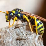 Pest Control Picture of Paper Wasp - Pest Masters - 500